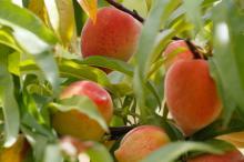 Cheios de sabor. Pomares carregados de pêssegos dão colorido à área rural