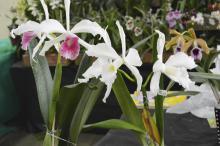Mostra tem variedades como dálias, crisântemos, rosas e orquídeas