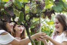 Previsão de safra é 120 toneladas de uva e 100 toneladas de ameixa