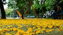 Com floração na primavera, a árvore exibe inflorescências em cachos pendentes