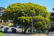 Árvore de copa ampla e densa, no passado foi utilizada na arborização urbana